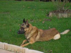 Vox, chien Berger belge