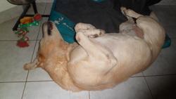 Vox, chien Labrador Retriever