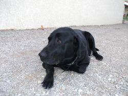 Vox, chien