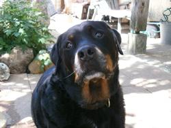 Voxan Au Paradis, chien Rottweiler