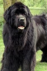 Voyda, chien Terre-Neuve