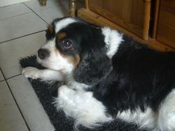 Voyelle, chien Cavalier King Charles Spaniel
