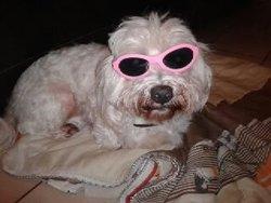 Voyou, chien Bichon maltais