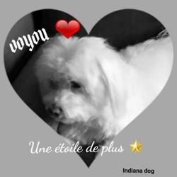Voyou, chien Coton de Tuléar