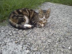 Voyou , chat Gouttière