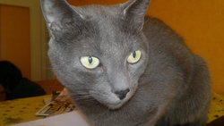 Voyou, chat Chartreux