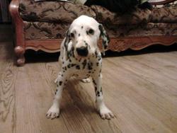 Voyou, chien Dalmatien