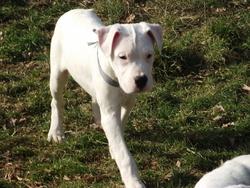 Huron, chien Dogue argentin