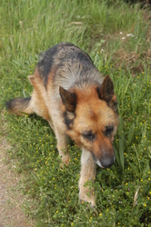 Vulcain, chien Berger allemand
