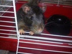 Vulcain, rongeur Rat