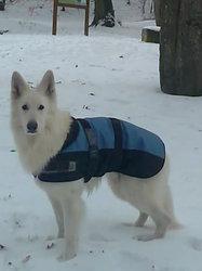 Vulcain Dit Vic, chien Berger blanc suisse