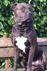 Vulkayn, chien American Staffordshire Terrier
