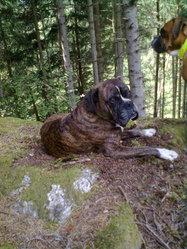 Vyron, chien Boxer
