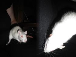 Waka, rongeur Rat