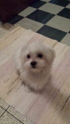 Wall-E, chien Bichon maltais