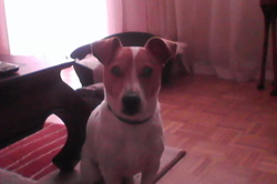 Wall-E, chien Jack Russell Terrier