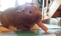 Wallé, rongeur Cochon d'Inde