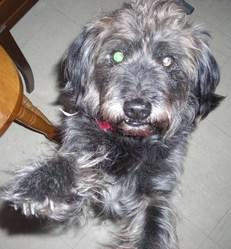 Wally, chien Griffon à poil dur Korthals