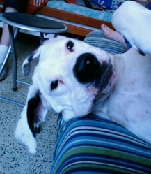 Wally, chien Dogue argentin