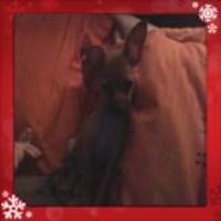 Wally, chien Chihuahua