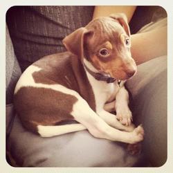 Wanda, chien Terrier brésilien