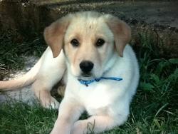 Wanjy, chien Labrador Retriever