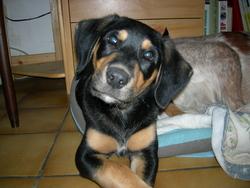 Wapi, chien Beauceron