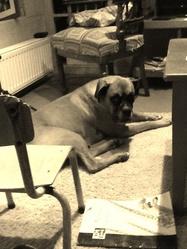 Waps, chien Boxer