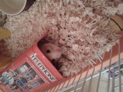 Wasabi, rongeur Hamster
