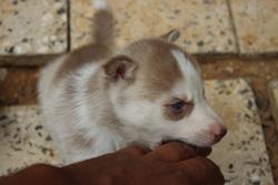 Waska, chien Husky sibérien