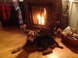 Watson, chien Airedale Terrier