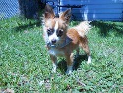 Watson, chien Chihuahua