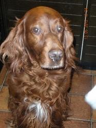 Watson Cool, chien Setter irlandais