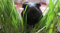 Wayn, rongeur Cochon d'Inde