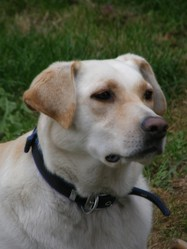 Weeky, chien Labrador Retriever
