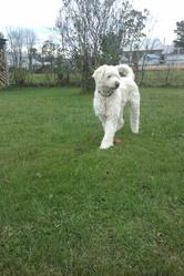 Weiser, chien Caniche