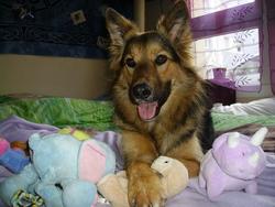 Welly, chien Berger allemand