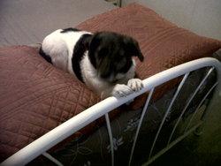 Wendy, chien Épagneul français