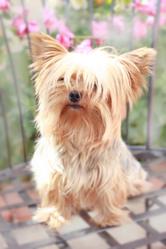 Wendy, chien Yorkshire Terrier