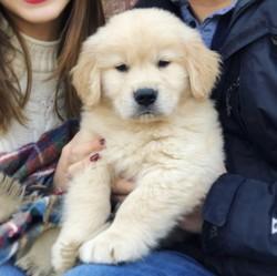 Wendy, chien Shih Tzu