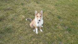 Wendy, chien Berger des Shetland