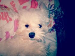 Wendy, chien Bichon maltais