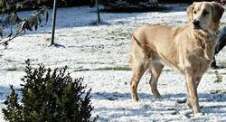 Wendy, chien Golden Retriever