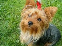 Wendy, chien Yorkshire Terrier