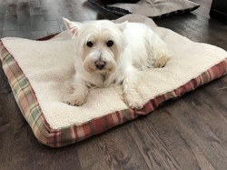 Wendy, chien West Highland White Terrier