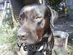 Wenky , chien Chien d'arrêt allemand à poil long