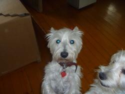 Westie, chien West Highland White Terrier