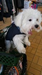 Westy, chien Bichon maltais