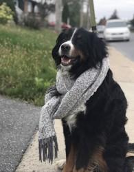 Weygo, chien Bouvier bernois