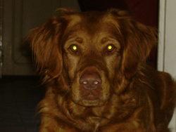 Whisky, chien Setter irlandais